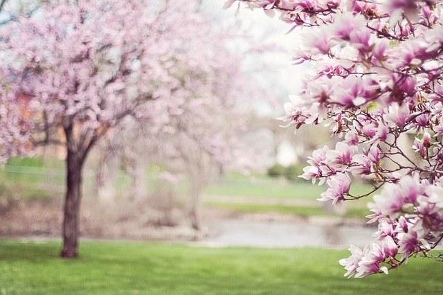 magnolia-trees-556718_640